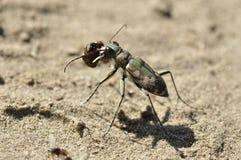 Tiger beetle (Cicindela) Stock Image