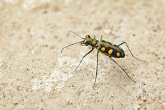 Tiger beetle - Cosmodela aurulenta Stock Photos