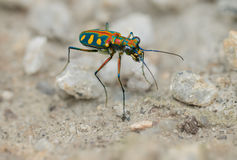 Tiger beetle - Cosmodela aurulenta close up Royalty Free Stock Image