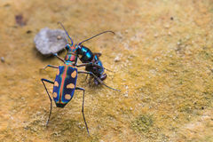 Tiger beetle eating a fly Stock Photo