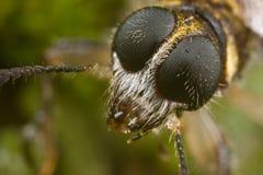 Tiger beetle face shot Stock Photos