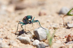 Tiger beetle Stock Images