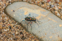 Tiger beetle on ground close up Royalty Free Stock Photos