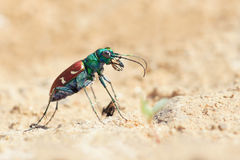 Tiger beetle Stock Photos