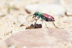 Tiger beetle Stock Photo
