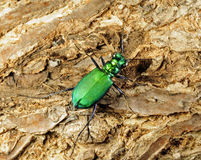 Tiger beetle Royalty Free Stock Images