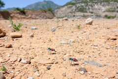 Tiger beetles. The tiger beetles on ground in mountains. Scientific name: Cicindela hybrida nitida Lichtenstein Royalty Free Stock Images