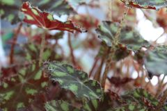 Tiger begonia,begonia foliage,begonia Bauer-photo houseplants. Due to the contrast of the picture, which is decorated with foliage, tiger begonia resembles the royalty free stock image