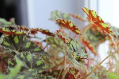 Tiger begonia,begonia foliage,begonia Bauer-photo houseplants. Due to the contrast of the picture, which is decorated with foliage, tiger begonia resembles the stock photography