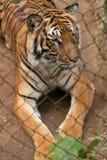 Tiger behind bars. This tiger sits behind bars in this Laotian zoo Stock Photo