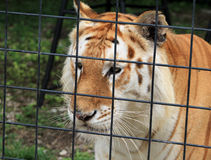 Tiger behind fence Royalty Free Stock Image