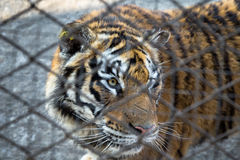 A Tiger behind the fence in the Siberian Tiger Park, Harbin, Chi. Siberian Tiger Park, Harbin, China. Harbin Siberian Tiger park is the largest one in the world stock photography