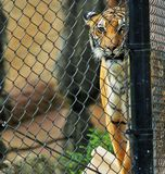 Tiger behind net Royalty Free Stock Photo