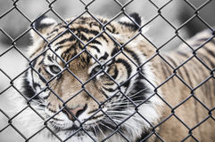 Tiger behind wire fence Stock Photos