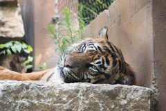 Tiger being lazy Stock Images