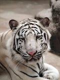 Tiger Bengal photographie stock