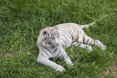 Tiger. Bengal tiger lying on grass Stock Image