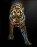 Tiger Bengal. Bengal tiger from Thailand comes out of the darkness into the light rays Royalty Free Stock Photo