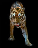 Tiger Bengal. Tiger wild animal,  coming out of shadows, alert and dangerous, ready to attack Royalty Free Stock Images
