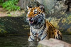 Tiger Royalty Free Stock Photos