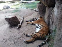 Tiger Bengel Sleeping Stock Photos