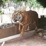 Tiger in Benidorm Lizenzfreies Stockfoto
