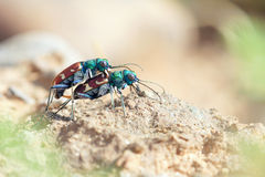 Tiger bettle. A pair of tiger bettle are mating. Scientific name: Cicindela hybrida nitida Lichtenstein stock image