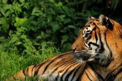 Tiger. Big cat sunbathing Royalty Free Stock Images