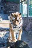 Tiger. Big tiger goes on stones Stock Images