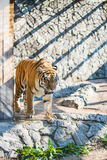 Tiger. Big tiger goes on stones Stock Image