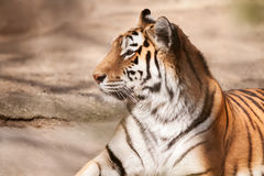 Tiger big male cat. Lying stock photography