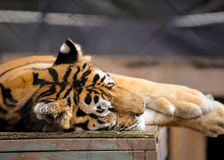 Tiger. Big Tiger naps after feeding time Royalty Free Stock Images