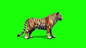 Tiger Big Roar Animals Side Green Screen 3D Rendering Animation