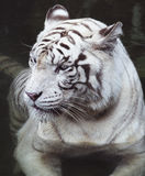 Tiger. Big white tiger close-up portrait royalty free stock images
