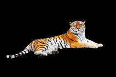Tiger on a black background. The tiger reclines on left to a side, is isolated on a black background Royalty Free Stock Image