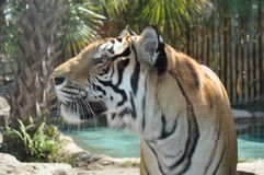 Tiger with black, white and orange. Stock Images