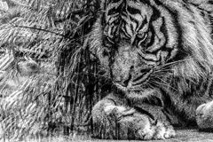 Tiger. Black and white photo of dreaming tiger stock photos