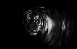 Tiger. A tiger in black and white standing in the shadows Royalty Free Stock Image