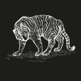 Tiger black and white vector illustration. Stock Image