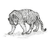 Tiger black and white vector illustration. Stock Photography