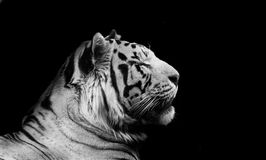 Tiger in Black and White Stock Photo