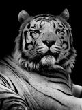 Tiger in Black and White Stock Images