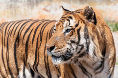 Tiger with a blind eye Royalty Free Stock Image