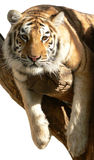 Tiger on a branch Royalty Free Stock Image