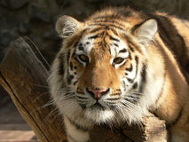 Tiger on a branch. Close-up Stock Image