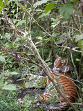 Tiger Through Branches Royalty Free Stock Images