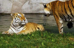 Tiger brothers. Siberian tigers cooling off Royalty Free Stock Images