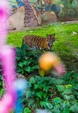 Tiger in the bushes. Tiger walking around near bushes Stock Photos