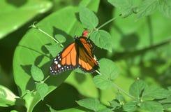 Tiger Butterflies commun sont également connus comme papillons de monarque Photos libres de droits