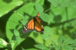 Tiger Butterflies comune inoltre è conosciuto come farfalle di monarca Fotografie Stock Libere da Diritti